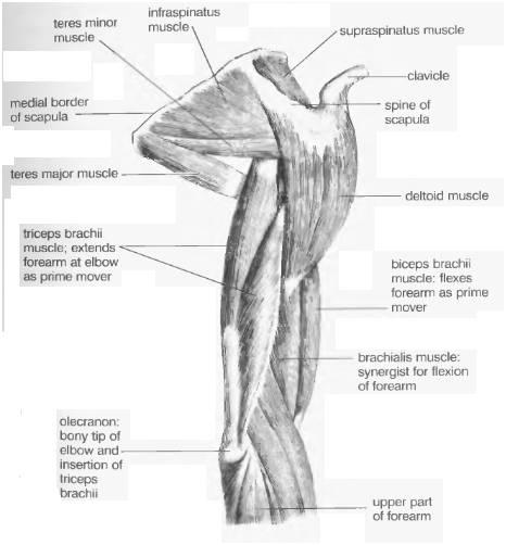 части верхней конечности