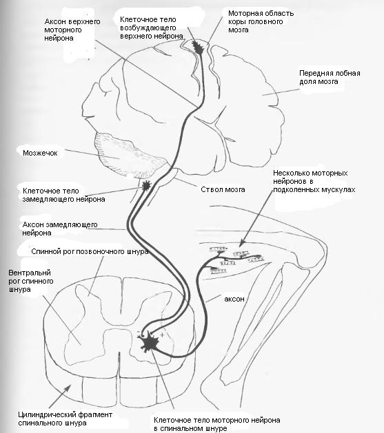 Вызвать оргазм расположенным в тазовом и спинальном уровнях